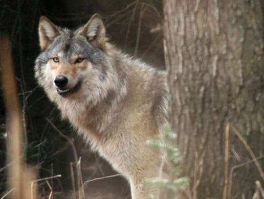 The wolf population in Wisconsin was estimated at 25 in 1980 and reached a record high of at least 925 animals in 2017, according to DNR reports.