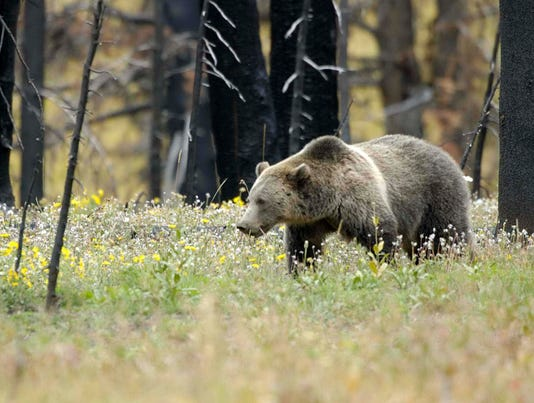Grizzlies an issue as Endangered Species Act turns 40