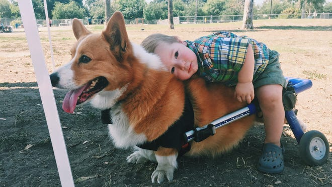 Charlie didn't seem to mind giving Shiloh Newcott a ride during Saturday's Central Valley Corgi Club meet-up.