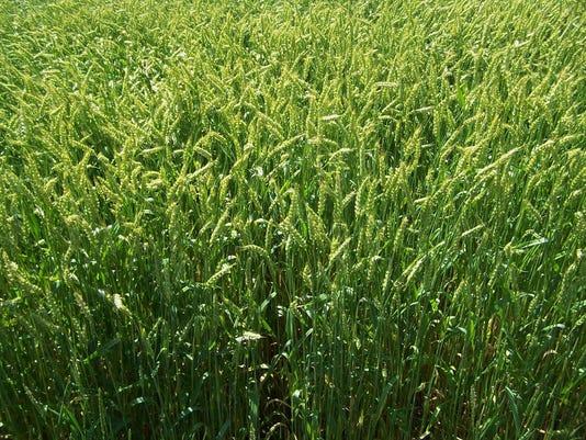 636318230033685568-MJSBrd-05-19-2017-Farmer-1-B015--2017-05-18-IMG-wheat.JPG-1-1-K7ID4PLB-L1030480564-IMG-wheat.JPG-1-1-K7ID4PLB.jpg