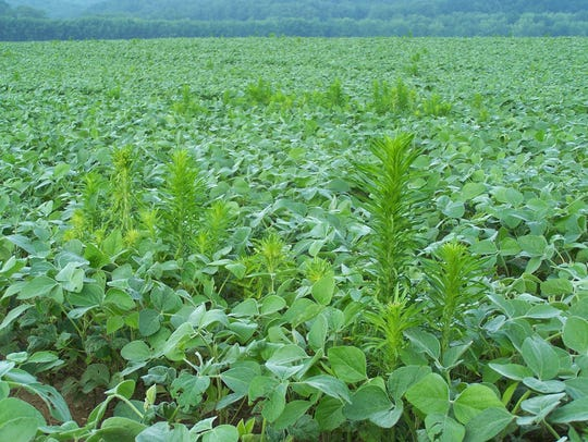 The weed marestail continues to challenge many local