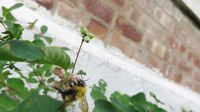 A worker (female) confusing bumblebee is shown.