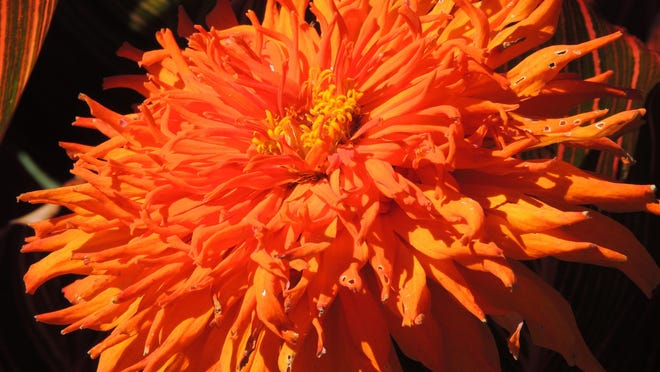 Gorgeous in striking neon orange, lion's mane zinnias are cactus blooming zinnias with huge, quilled blooms that may reach 6 inches across. There are many unusual zinnia varieties available for home gardeners.