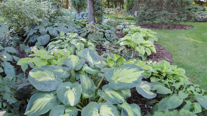Hostas are a popular plant for fall division, and one of the easiest to split into new plants.