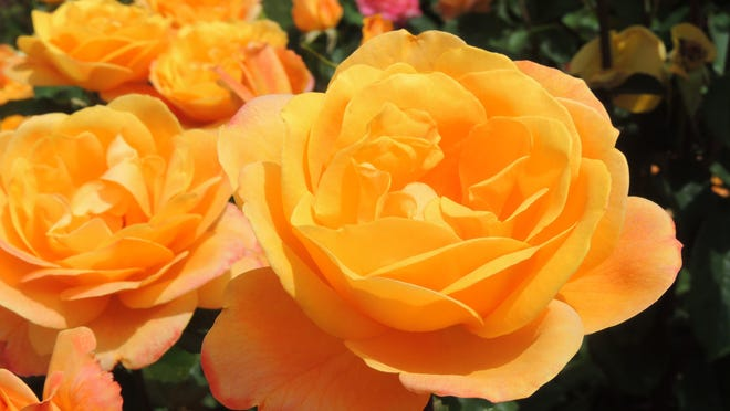 The National Garden Bureau has designated 2017 The Year of the Rose. These stunning perennials provide long-lasting color, beauty and texture in the garden all year round.