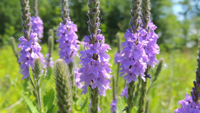 Native wildflowers come in rainbow of colors, such as the beautiful blue blooms of Hoary Vervain.