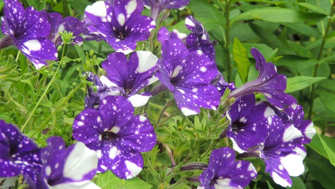 Night Sky petunia promises to be a hot seller in 2017. A rich, deep purple with variable white spots, this petunia made a big splash last growing season, quickly selling out in many garden centers.