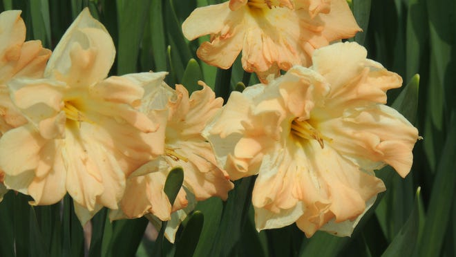 Unusual butterfly or split corona daffodils bring added interest to the spring garden and come in a number of colors and bloom times.