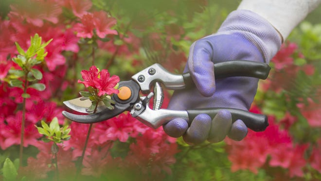 Complete the pruning of azaleas, gardenias and camellias this month. Pruning later in the year could remove next years flowers.