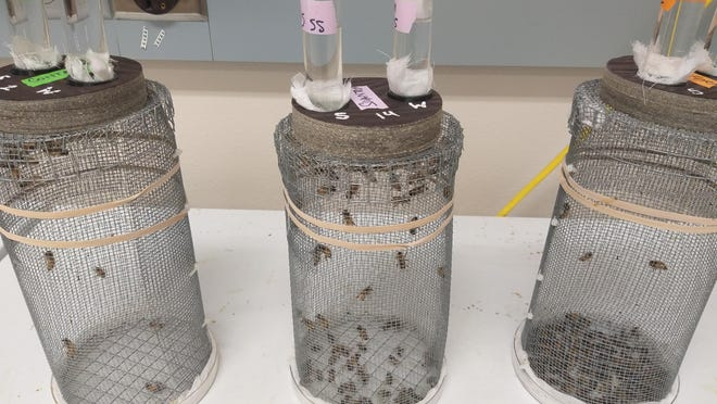 One cage from each of the three groups in an Oregon State University honeybee study. The control cage, far left, has more live bees than the cages which were exposed to the pesticides Sivanto, middle, and Transform, far right.