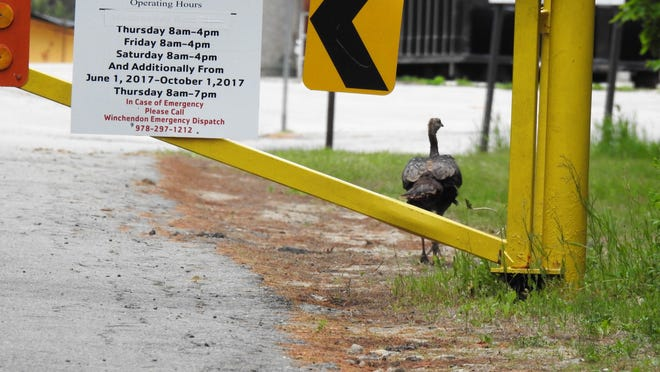 This hen turkey was caught slipping through the fence at the Winchendon transfer station while it was closed on June 3. Apparently she was not aware that the transfer station is now open extended hours. From June 1 to Oct. 1, the transfer station will be open as follows: Thursday, 8 a.m. to 7 p.m.; Friday, 8 a.m. to 4 p.m.; Saturday, 8 a.m. to 4 p.m.