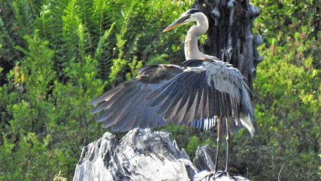 This heron preened for a while and stretched his wings as if performing tai chi alone on his perch.