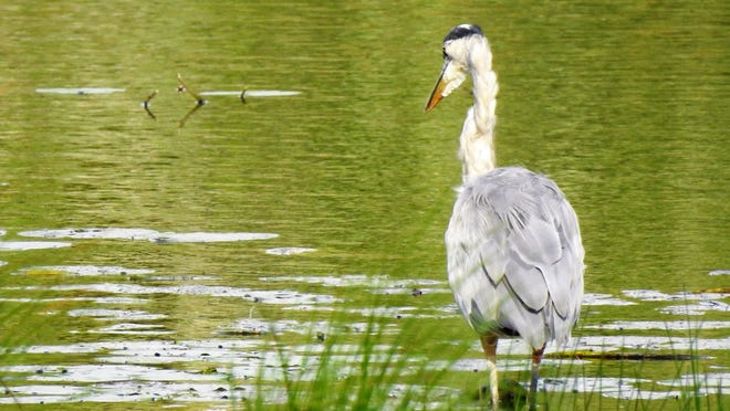 A heron fishes in the late afternoon at the pond on Depot Road in Ashburnham.