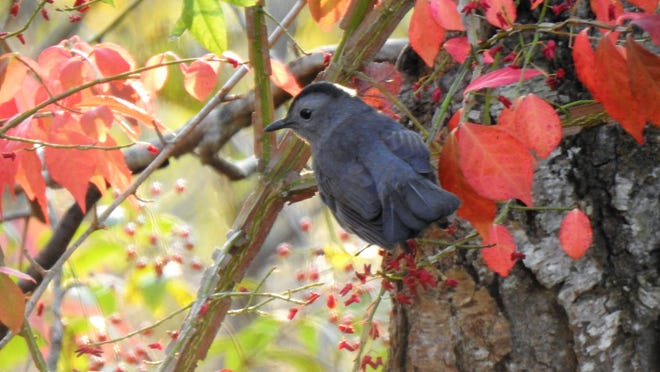 A gray catbird surrounds itself in colorful fall foliage.