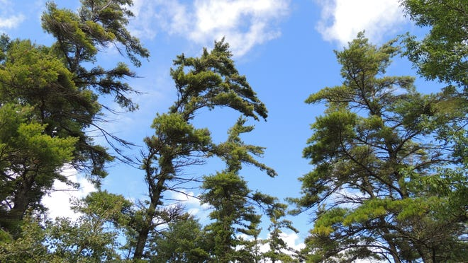 Weathered evergreens dominate the towering skyline at Point Beach State Forest along the Lake Michigan shore north of Two Rivers. With more than six miles of sand beach and 11 miles of hiking trails, fall is an ideal time to visit.