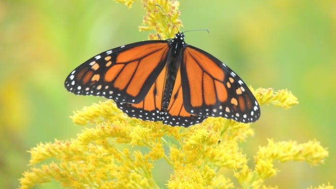 Researchers with the World Wildlife Fund announced an increase in the overwintering monarch butterfly numbers after an annual census in the mountains of central Mexico.
