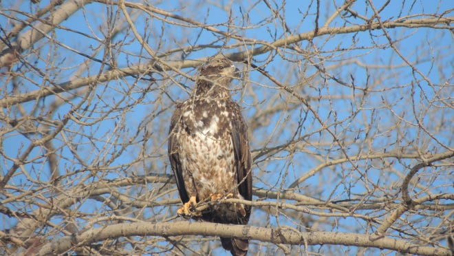 Bald eagles do not reach full breeding plumage, with distinct white head and tail, until they reach 4 or 5 years of age. Immature eagles are often mistaken for hawks.