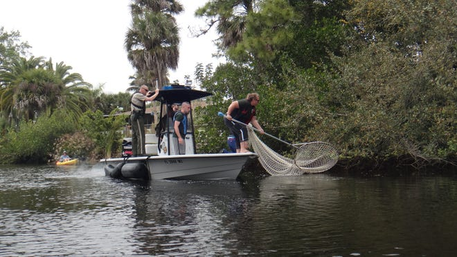 FWC officials tried to capture an injured manatee in a net in the Imperial River.