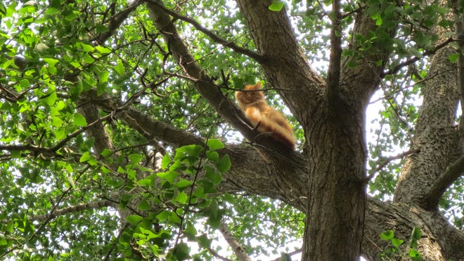 A cat now called Manny sits on a branch about 50 feet above the 200 block of South Ninth Street.