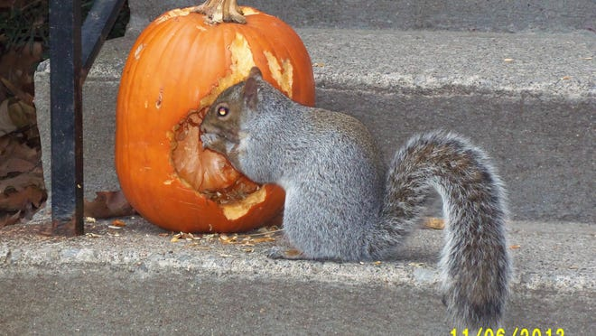 City of Poughkeepsie resident Hal Veeder submitted this photo of a squirrel dining on a pumpkin. Do you have a nature photo to share? Send it to dradwin@poughkeepsiejournal.com