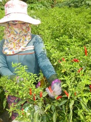 A Vietnamese farmer picks red chiles at a farm on Evergreen