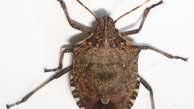 In the last couple of years, there has been an increase in the number of brown marmorated stink bugs in Brown County.