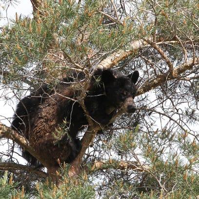 -0526 bear jam 2.jpg_20160526.jpg