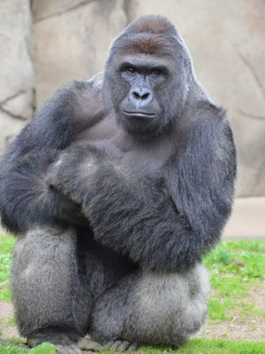Harambe was shot and killed by a zoo emergency response team in May to protect a 3-year-old boy who fell into the gorilla exhibit.