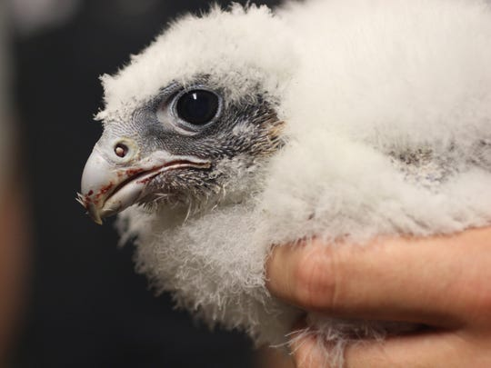 A peregrine falcon chick is shown after it was removed from its nest for banding.  Three chicks were removed for approximately 35 minutes and then returned. It is believed the three-week-old chicks were fed shortly before they were removed from the nest. Tuesday, May 29, 2018