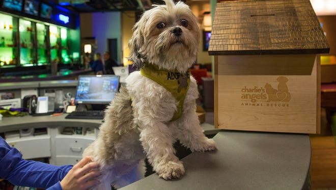 Posey awaits adoption at the Aloft in downtown Asheville in a partnership between the hotel and the Charlie's Angels pet rescue nonprofit.