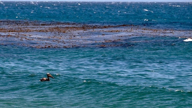 A pelican is seen floating in the water near an oil-contaminated patch of seaweed at Refugio State Beach, north of Goleta, Calif., Friday, May 22, 2015. Officials say the sheen of oil is now thinner than a coat of paint and is becoming harder to skim from choppy, wind-driven waters. A state parks official says Refugio and El Capitan state beaches and campgrounds will be closed until June 4. That's a week longer than originally announced. The spill from the May 19 break now covers nearly 10 square miles.  (AP Photo/Michael A. Mariant)