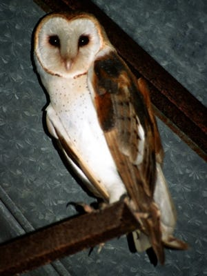 Barn owls, like other owl species, are entirely nocturnal and are able to locate their prey in total darkness by sound alone.