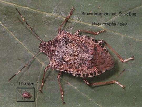 Beware of insects like stink bugs this holiday season.