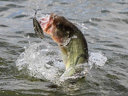"""""""Big mouth"""" will feed on everything from snakes and frogs to small water birds and baby alligators."""