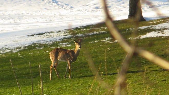 Easter Sunday snowfall and deer at Minnehaha Country Club near hole 13.