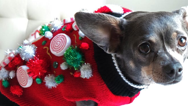 This 2014 photo provided by Aimee Beltran shows her Chihuahua Chuy decked out in an ugly Christmas sweater at her home in Virginia Beach, Va. Ugly sweaters aren't just a Christmas tradition for people. Cats, dogs and even guinea pigs are joining the party.  (Aimee Beltran via AP)