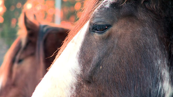 14 Clydesdale draft horses survived an early morning barn fire Feb. 25, 2016 near Bishop, Ga.