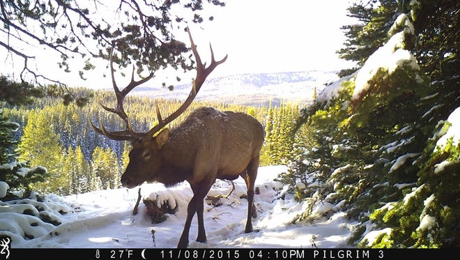 In this 2015 photo from a Wyoming Cooperative Fish and Wildlife Research Unit motion-activated camera, an adult bull elk walk in the Teton Wilderness Area of Wyoming. Motion-detecting wildlife cameras are yielding serious science as well as amusing photos. (Wyoming Cooperative Fish and Wildlife Research Unit via AP)
