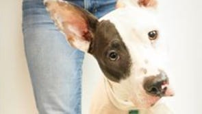 """Lily, also known as """"Roo,"""" the two-legged dog that was at the West Valley Animal Care Center, is to be returned to her owner."""