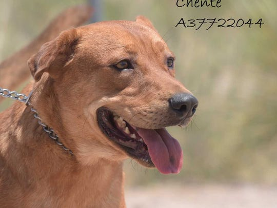Chente - Male (neutered) shepherd mix, about 3 years