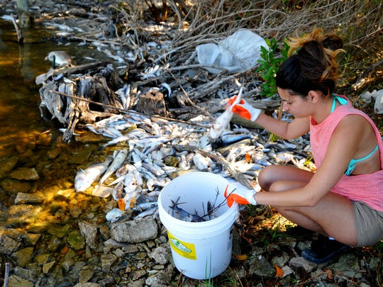 Rachel Turner cleans up dead fish last week near Squid Lips Overwater Grill in Cocoa Beach.