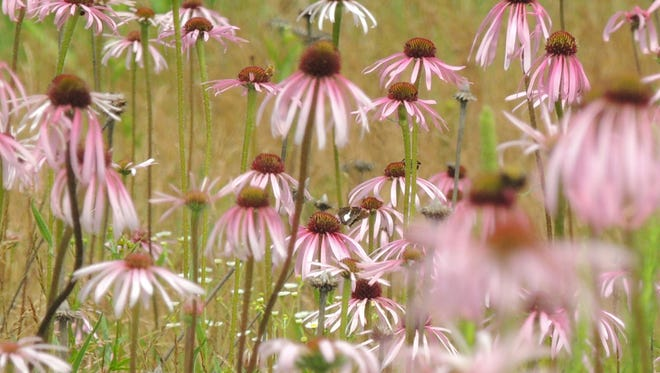 Pale purple coneflower, quite different from the standard garden coneflower variety, features ribbon-like petals and taller, more graceful stems.