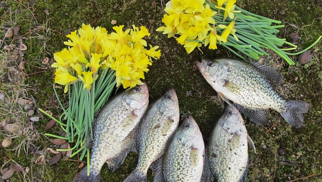 A sign that spring isn't too far away as yellow daffodils are blooming and crappie are hitting.