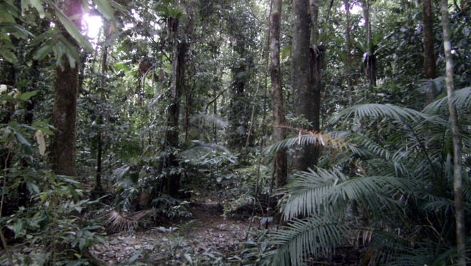 No foolin'--we're hiking a Jurassic rainforest in Queensland's Daintree.