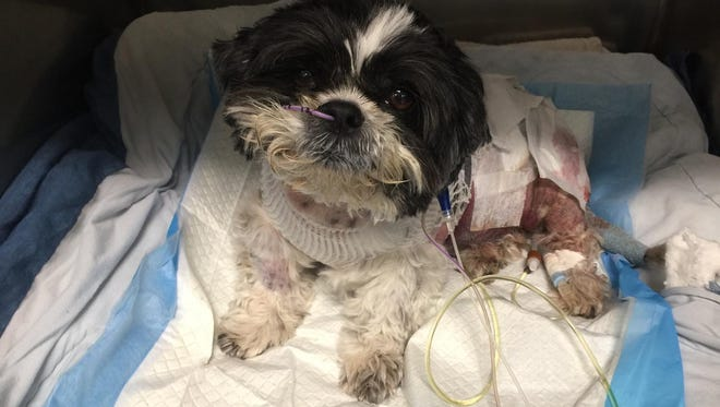 Peyton, a Shih-Tzu, was seriously injured when he was attached Feb. 25 while walking with his owner.