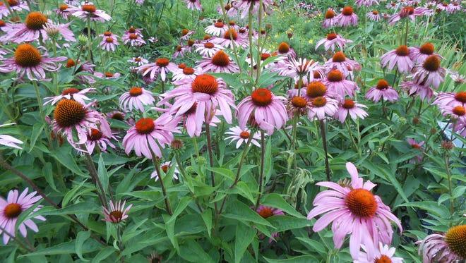 Echinacea purpurea is a native North American wildflower