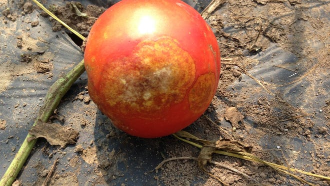 A tomato infected with late blight has golden discoloration in a ring-like pattern.