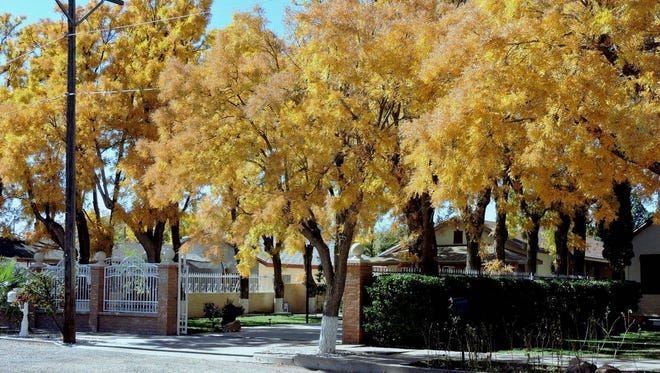 Changing colors of the leaves in Deming signal the arrival of fall. The trees along South Nickel Street are vibrant with autumn colors, as in many of the streets in town. Soon the leaves will drop to signal another change from fall to winter.