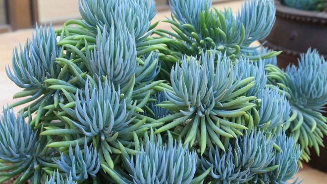 Senecio 'Blue Chalk Sticks' is a stunning, silver/blue tropical succulent that performs well in containers.