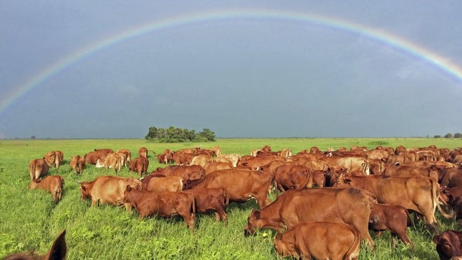 Zach Adams, Ranch Manager of Adams Ranch /SUBMITTED TO YOURNEWS One of the winning photographs from the 2016 calendar. A rainbow stretches over the Osceola division of Adams Ranch as these Bradford cows and ABEEF calves were driven to a rested pasture after an unusually early morning storm. Established in 1937 with the purchase of the Fort Pierce ranch by Judge Alto Adams, the iconic Alto 'Bud' Adams Jr. has developed the cattle that thrive at the ranch today. The ranch grew in the early 1960s with the purchase of land in Osceola county just to the south of Lake Marian which is where this photo was taken.